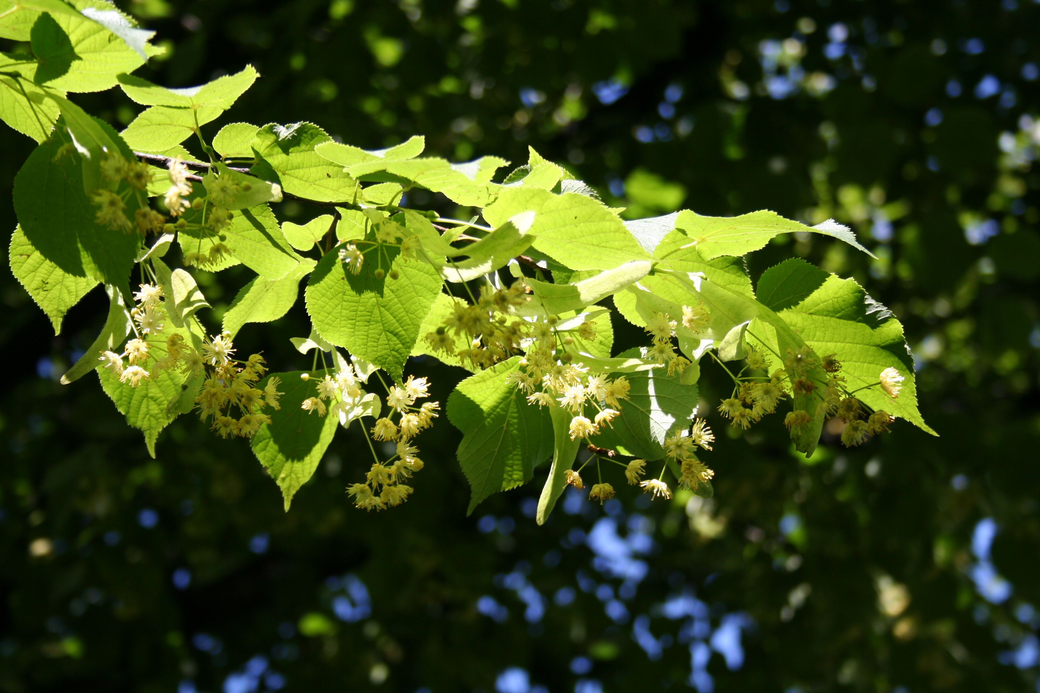 Basswood trees are now in flower view from the hive - Trees that bloom yellow flowers ...